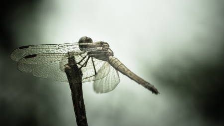 imperator: dragonfly