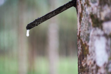 ruber tree and latex in Thailand