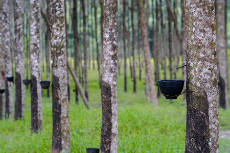 ruber tree and latex in Thailand photo