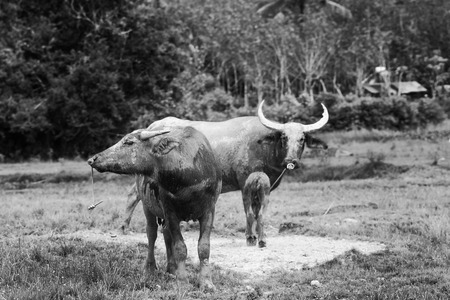 Buffalo family black and white