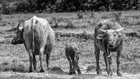 Buffalo family black and white