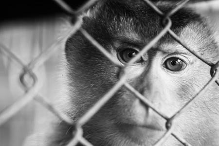 The Monkey in cage no freedom Stock Photo