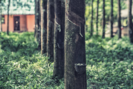 rubber tree in the forest Thailand