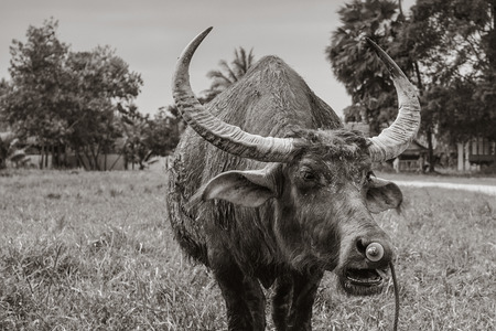 Buffalo in nature black and white