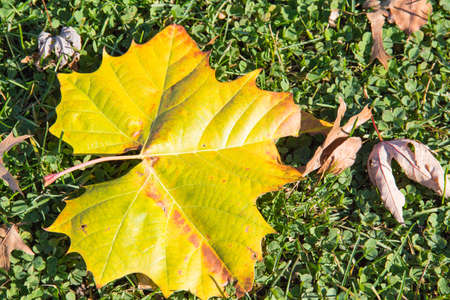 red clover: Vibrant yellow green red sycamore leaf surrounded by fallen brown maple and oak leaves all lying on a bed of green grass and clover.