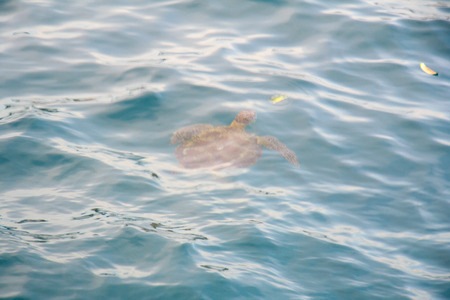 showed: Turtle showed up in the sea