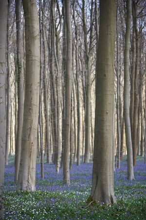 A forest floor full of bluebells during spring