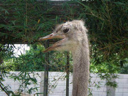 calmness: Ostrich