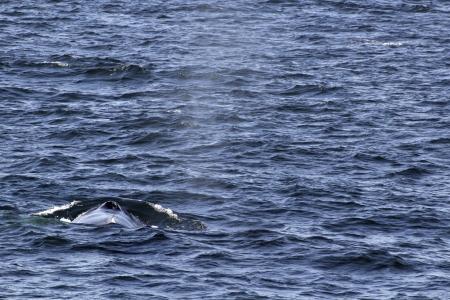 orificio nasal: 30 de marzo 2013, Reykjavik, Islandia, Una ballena jorobada con un orificio visual