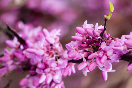 short focal depth: 2014 30th March Rome Italy Close up of purple flowers blossom on a tree branch Stock Photo