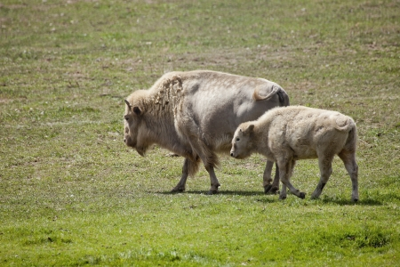 White American Bison and baby are grazing in a field