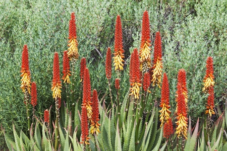 Orange flowers on Aloe Vera in the Garden
