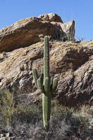 Cactus Landscapes in Saguaro National Park in Arizona, USA Stock Photo