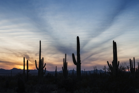 Cactus Forest at Sunset in Saguaro National Park in Arizona, USA