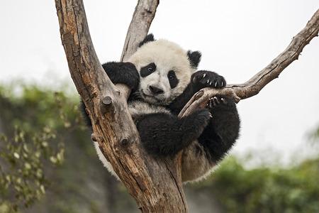 木にぶら下がっている巨大な赤ちゃんパンダ 写真素材