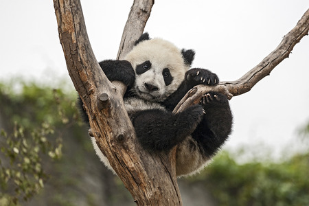 Giant Baby Panda Hanging on a Tree