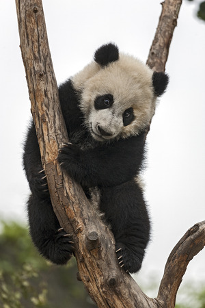 panda bear: Giant Baby Panda Climbing on a Tree