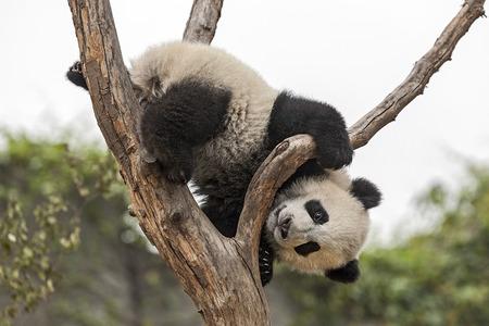 木に登るの巨大な赤ちゃんパンダ