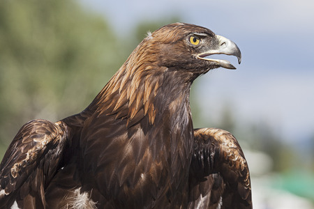 A Portrait of the Golden Eagle 스톡 콘텐츠