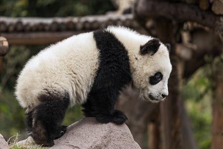 岩に登る若いパンダ 写真素材