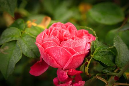 moisture: Pink rose with moisture