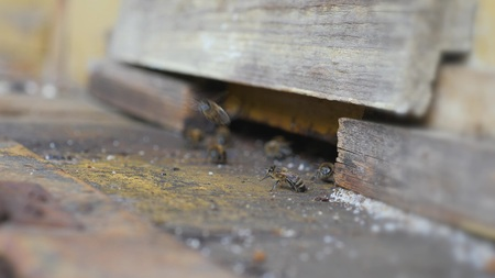 Working bees work honeycomb with honey.