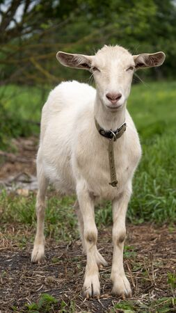 Zaanen goat. In the green grass. Natural habitat. Field of green grass in summer. Pet double animal on the pasture.