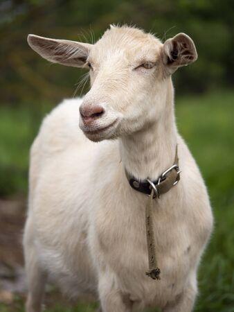 Zaanen goat. In the green grass. Natural habitat. Field of green grass in summer.
