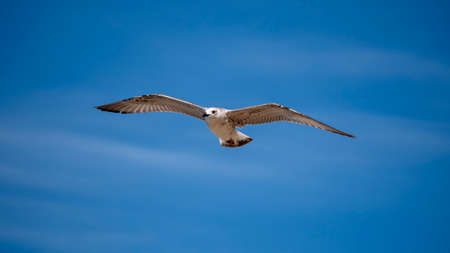 Sea bird in flight. Seagull against the blue sky. Фото со стока - 155751113