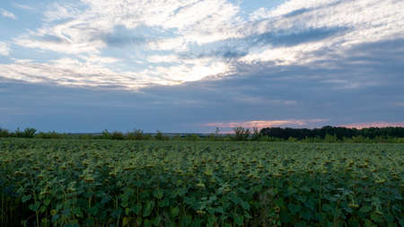 Field of sunflowers at sunset. The sunflower flowers lowered their heads to the ground.