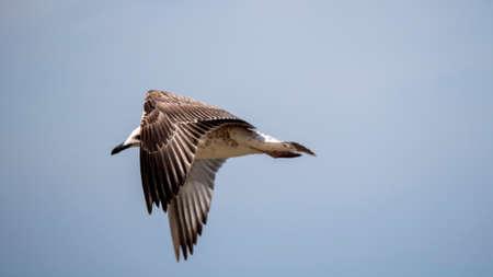 Sea bird in flight. Seagull against the blue sky.