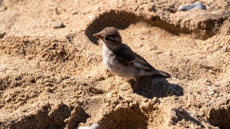 Portrait of a small bird on the sand. Sparrow on the seashore. Zdjęcie Seryjne