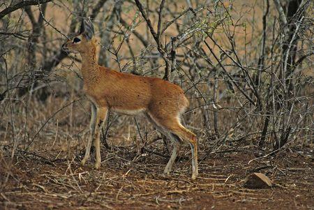 grazer: Steenbok In Kruger National Park