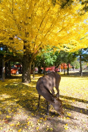 Deer and yellow leaves of autumn