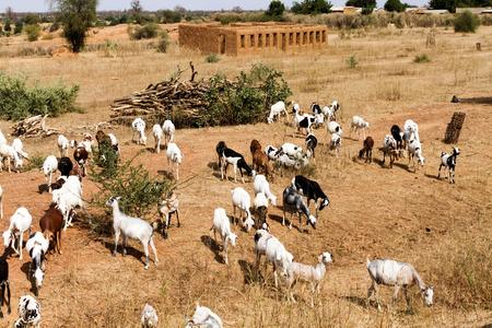 Herd of goats in Mali