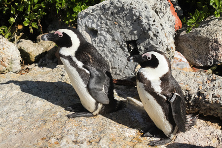 African Penguin, South Africa photo