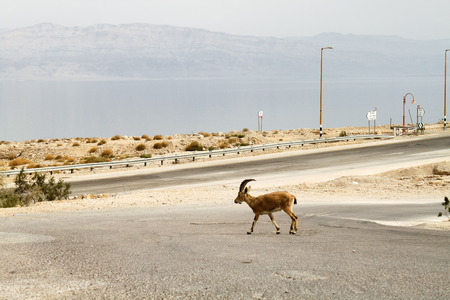 Walking Gazelle, Dead Sea photo