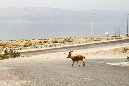 Walking Gazelle, Dead Sea photo