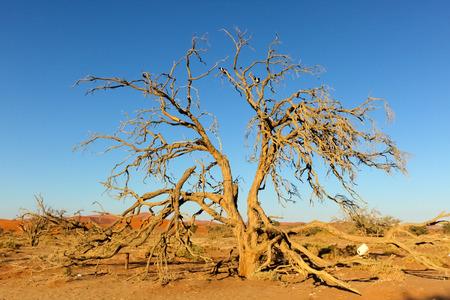 namib: Dead tree, Namib Desert