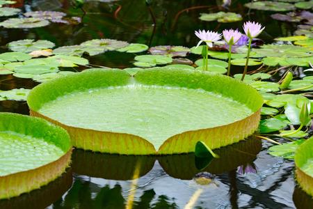 Victoria amazonica ist eine Art der blühenden Pflanze, dem größten der Familie der Seerosengewächse Wasserlilien. Standard-Bild - 42087213