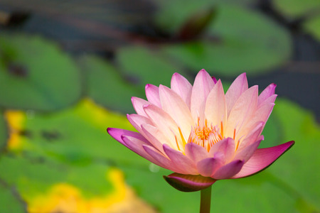 perle rose: Water Lily, Nymphaea Pink Pearl Banque d'images