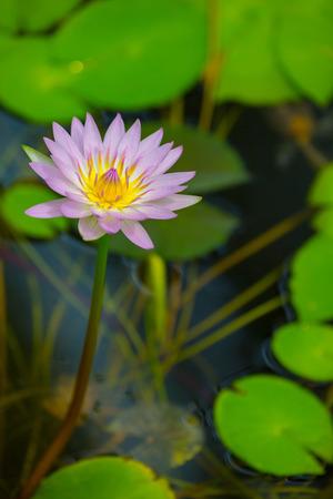 Seerose im Teich Standard-Bild - 42087218