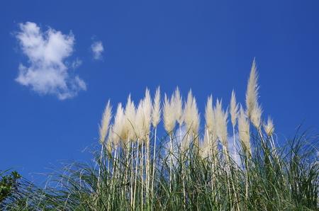 푸른 하늘과 팜파스 잔디