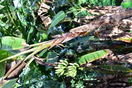 Banana Tree in Philippines