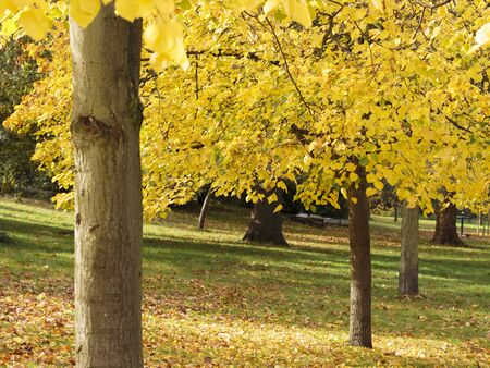 Black Poplar (Populus nigra), Dulwich Park, London, England, United Kingdom