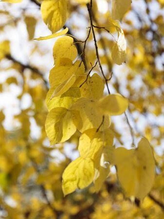 Black Poplar (Populus nigra), Dulwich Park, London, England, United Kingdom Archivio Fotografico