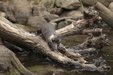 An oriental small-clawed otter, Asian small-clawed otter, (Aonyx cinerea) shaking off water, WWT London Wetland Centre, Barnes