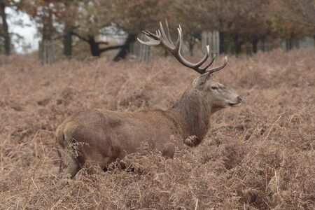 A Red deer stag, Cervus elaphus, in Richmond Park, Richmond, England, United Kingdom