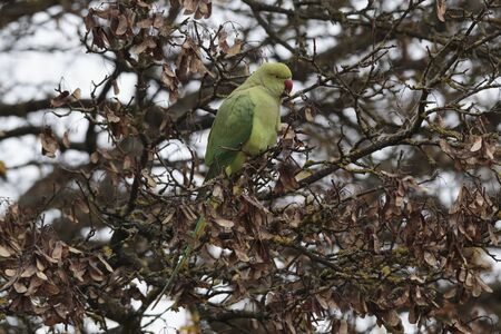 Rose-ringed parakeet, aka ring-necked parakeet, Psittacula krameri, in Richmond Park, Richmond, England, United Kingdom Standard-Bild