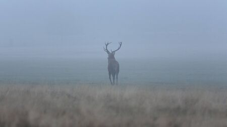 A Red deer (Cervus elaphus) in the fog, Richmond Park, Richmond, England